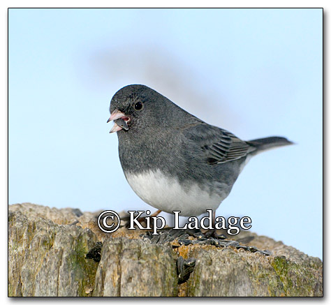 Dark-eyed Junco - © Kip Ladage