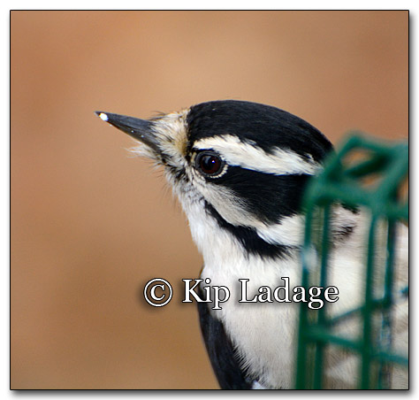 Downy Woodpecker - © Kip Ladage