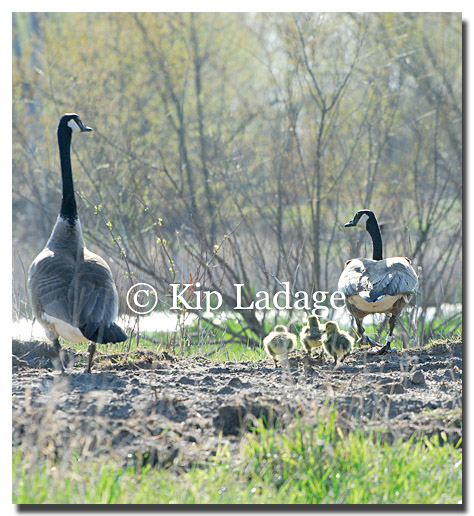 Canada Geese and Goslings - © Kip Ladage