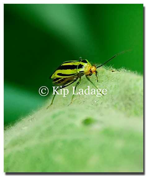 Images Green Tick Green Striped Insect Image