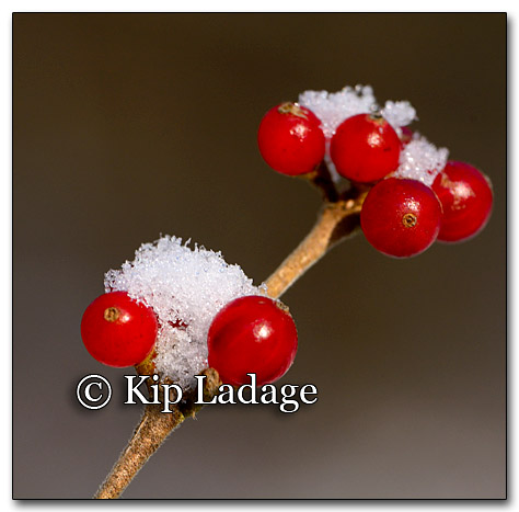Snow on Red Berries - © Kip Ladage