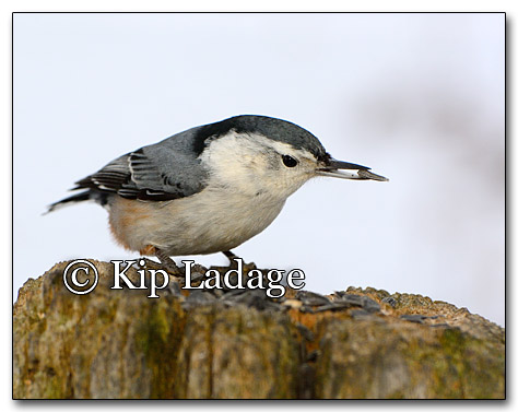 White-breasted Nuthatch - © Kip Ladage