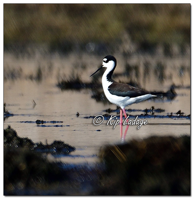 Black-necked Stilt at Sweet Marsh (559135)