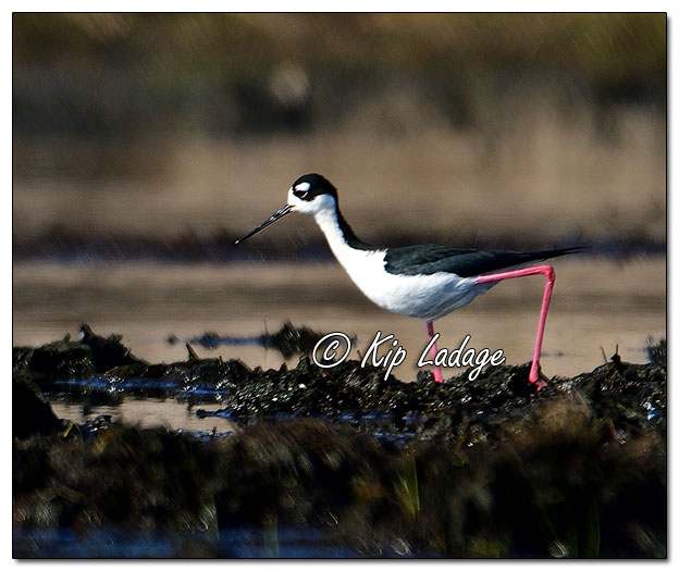 Black-necked Stilt at Sweet Marsh (559148)
