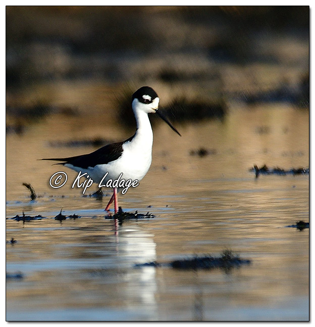 Black-necked Stilt at Sweet Marsh (559301)