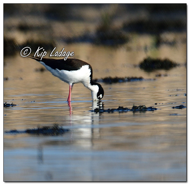 Black-necked Stilt at Sweet Marsh (559305)