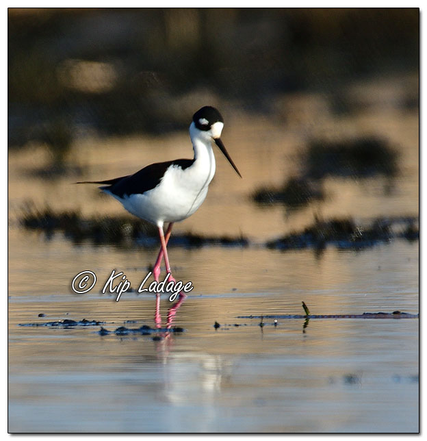 Black-necked Stilt at Sweet Marsh (559314)