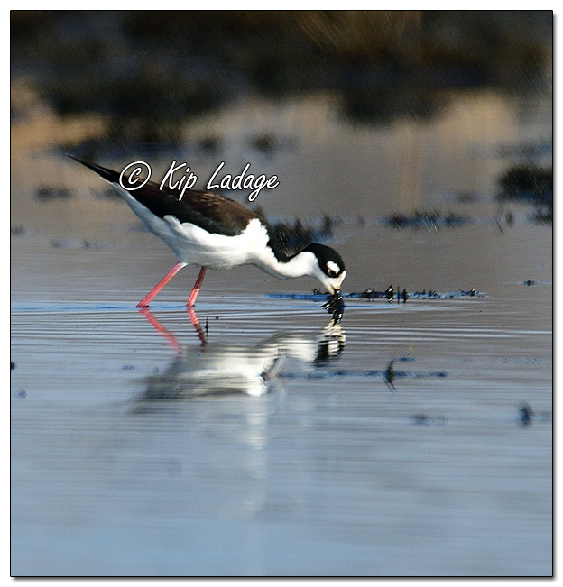 Black-necked Stilt at Sweet Marsh (559326)