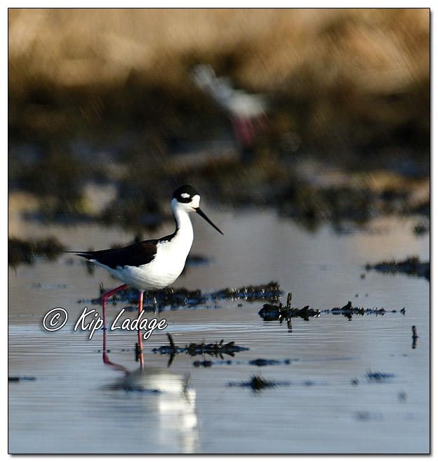 Black-necked Stilt at Sweet Marsh (559331)