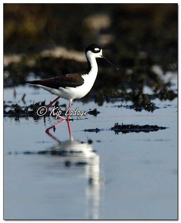 Black-necked Stilt at Sweet Marsh (559363)