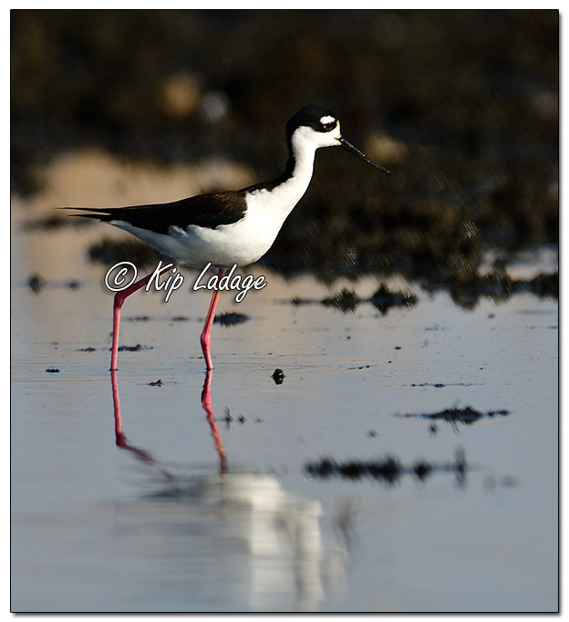 Black-necked Stilt at Sweet Marsh (559450)