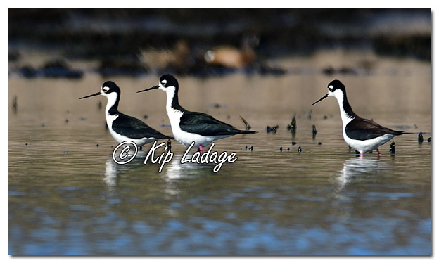 Black-necked Stilt at Sweet Marsh (559592)