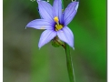 pointed-blue-eyed-grass-60005