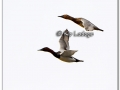 canvasback-303002