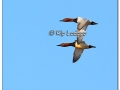 canvasback-424199