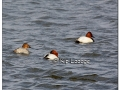 canvasbacks-424768