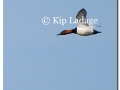 canvasbacks-in-flight-74763