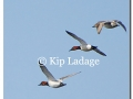 canvasbacks-in-flight-74768