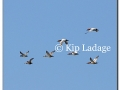 ducks-in-flight-108209