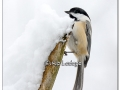 black-capped-chickadee-in-snow-407812