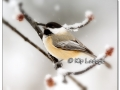 black-capped-chickadee-in-snow-409497-nik-reflector-and-vignette