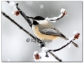 black-capped-chickadee-in-snow-409497