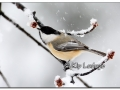 black-capped-chickadee-in-snow-409498