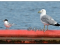 Forster's Tern and Ring-billed Gull at Brinker Lake (580253)