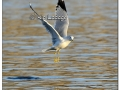 ring-billed-gull-on-water-477972