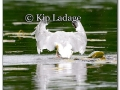 ring-billed-gull-with-fish-219956