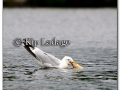ring-billed-gull-with-fish-219994