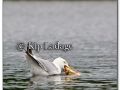 ring-billed-gull-with-fish-219998