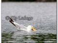 ring-billed-gull-with-fish-220005