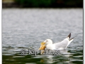 ring-billed-gull-with-fish-220036