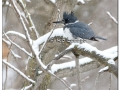 Belted Kingfisher in Snowstorm (497352)