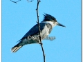 belted-kingfisher-273214