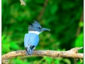 belted-kingfisher-329853