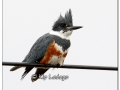 female-belted-kingfisher-on-power-line-425957
