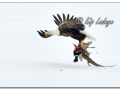 Adult Bald Eagle with Dead Rooster Ring-necked Pheasant (547941)