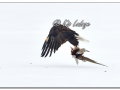 Adult Bald Eagle with Dead Rooster Ring-necked Pheasant (547942)