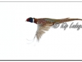 Ring-necked Pheasant in Flight (606311)