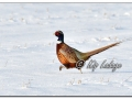 Ring-necked Pheasant in Snow (604434)