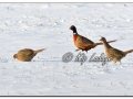 Ring-necked Pheasant in Snow (604447)
