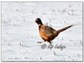 Ring-necked Pheasant in Snow (604455)