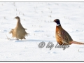 Ring-necked Pheasant in Snow (604477)