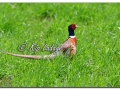 Rooster Ring-necked Pheasant (563795)