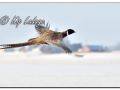 Rooster Ring-necked Pheasant in Flight (608441)b