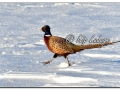 Rooster Ring-necked Pheasant in Snow (548374)