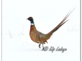 Rooster Ring-necked Pheasant in Snow (605195)