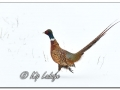 Rooster Ring-necked Pheasant in Snow (605196)